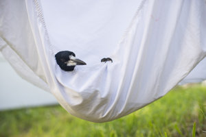 Penguin Bloom in a sheet hammock
