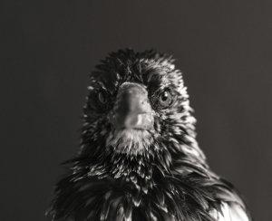 Penguin the Magpie